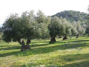La Junta de Andalucía ha venido reclamando el mismo trato fiscal para el olivo cordobés que para el jienense