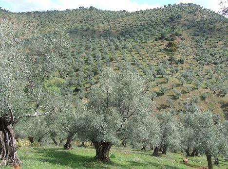 España cuenta con 485.000 toneladas de aceite a un mes de acabar la campaña