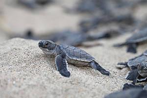 "Comienza la época de ""arribada"" de tortugas a Costa Rica"