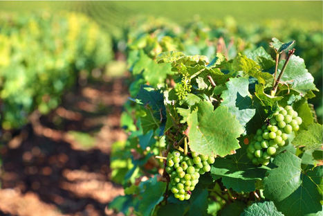 ¿Cómo está influyendo el cambio climático en los viñedos españoles?