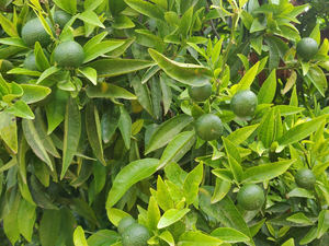 Unión de Uniones espera un ligero descenso o mantenimiento en la próxima cosecha de cítricos y confía en un repunte de los precios para los productores