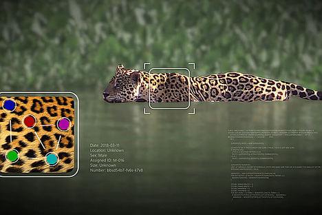 Destacar en la manada: Wild Me utiliza la IA para revolucionar la identificación de animales