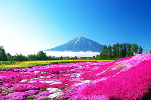 Musgo rosa, túneles de glicina y campos de colza, la otra primavera de Japón