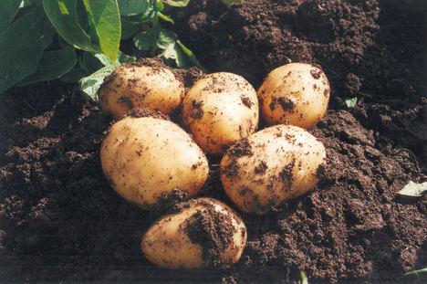 La Consejería de Agricultura anima a consumir patata nueva de Andalucía