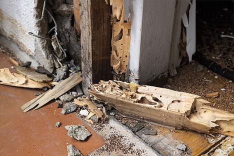 Plagas de termitas, un problema económico