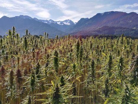 Información sobre la legalidad del cultivo de cannabis en casa
