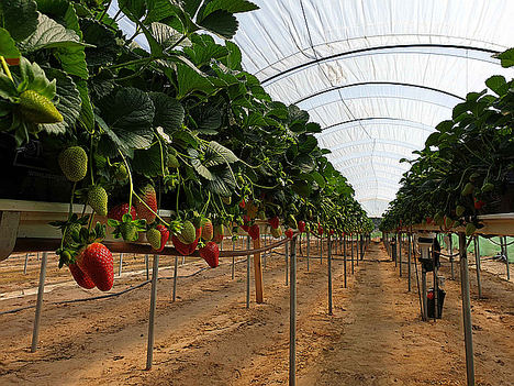 Un sistema experimental de riego de la iniciativa Ferdoñana logra reducir un 28% el consumo de agua en cultivos de frutos rojos de Huelva