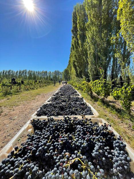 Comienza la vendimia 2021 para el proyecto Verum by Verum que une Castilla la Mancha con la Patagonia argentina a través del enólogo Elías López Montero