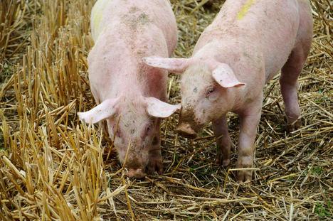 Unión de Uniones califica de agridulce el balance de 2020 para el sector porcino y pide cautela para este año