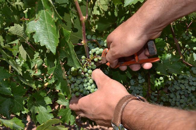 Bodegas La Pelina ha iniciado su vendimia en verde | Economía de Hoy