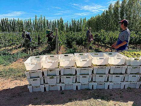 Vendimiando en la Patagonia-Argentina.