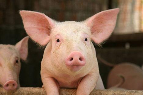 Grup Gepork, certificado en bienestar animal por Bureau Veritas con el sello IAWS de INTERPORC