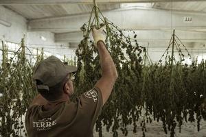 Las semillas feminizadas de CBD ofrecen excelentes beneficios