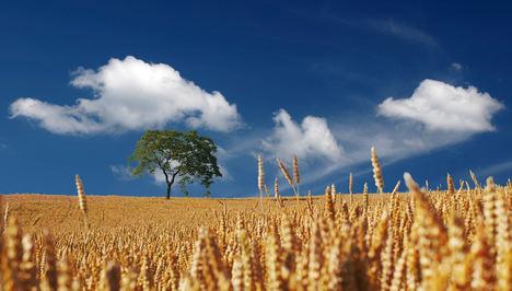 Unión de Uniones destaca que la climatología lastra entre un 8% y un 30% la presente campaña de cereales dependiendo del territorio