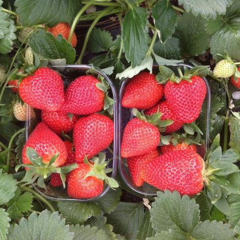 Importante crecimiento de la variedad de fresa Victory