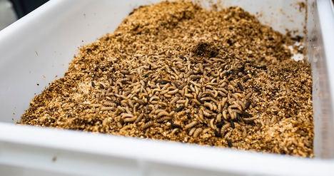 Satisfacción en el sector español de cría de insectos tras el nuevo Reglamento de la UE para el uso de proteínas animales en alimentación de cerdos y aves