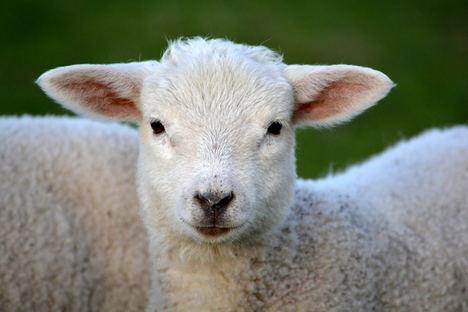 Unión de Uniones propone un reparto más justo de las ayudas de ovino y caprino y que sirvan para las explotaciones con más dificultad