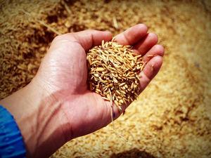 Unión de Uniones alerta a los europarlamentarios de que el acuerdo de libre comercio con Vietnam podría tener efectos muy negativos para el sector del arroz