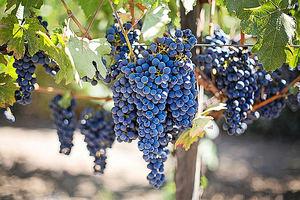 """Unión de Uniones considera que la campaña de vino no debería tener especiales problemas """"salvo que se provoquen artificialmente"""""""